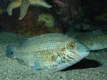 Corkwing wrasse  (Symphodus melops)